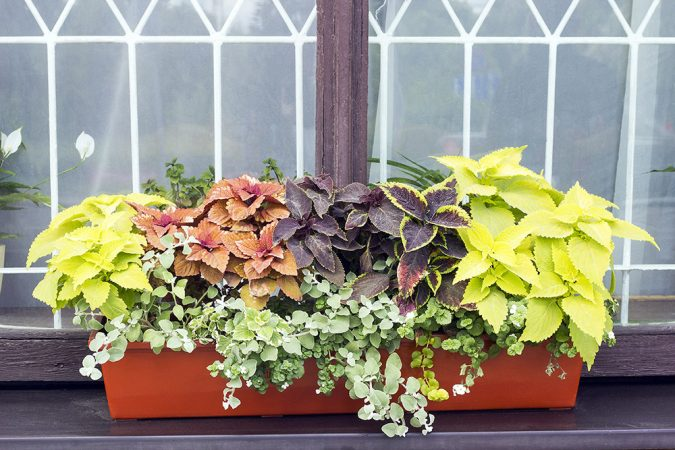 Different-Coleus-plants-675x450 15 Annuals That Bloom All Summer