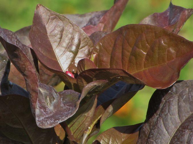 Graptophyllum-pictum-Bronze--675x506 15 Annuals That Bloom All Summer