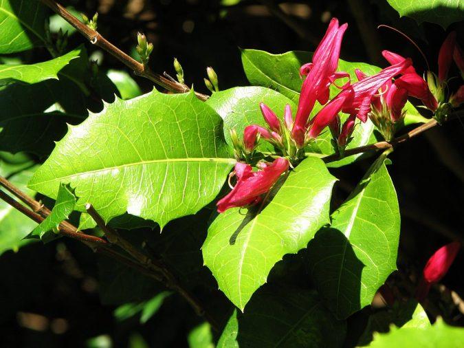 Graptophyllum.-675x506 15 Annuals That Bloom All Summer