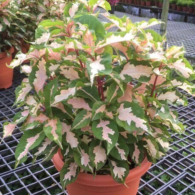Graptophyllum 15 Annuals That Bloom All Summer