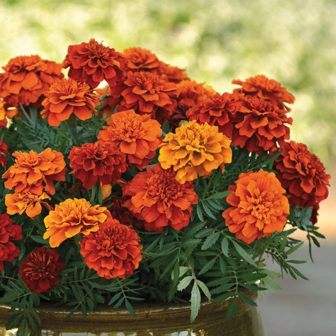 Marigold-675x675 15 Annuals That Bloom All Summer