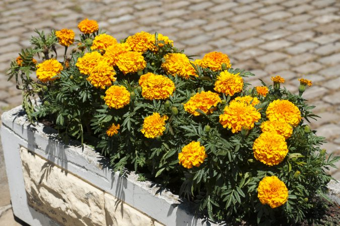 Marigold.-675x448 15 Annuals That Bloom All Summer