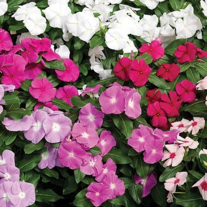 Vinca-675x675 15 Annuals That Bloom All Summer