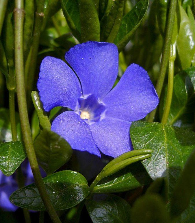 Vinca.-675x775 15 Annuals That Bloom All Summer