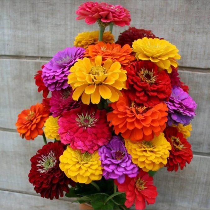 Zinnia-675x675 15 Annuals That Bloom All Summer