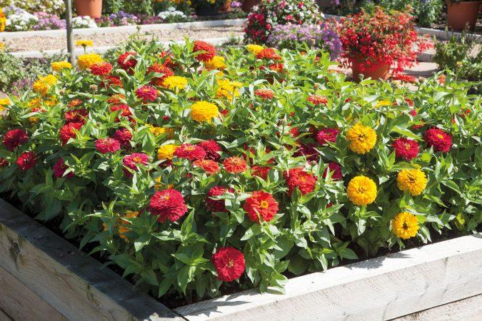 ZinniaSolmar-675x450 15 Annuals That Bloom All Summer