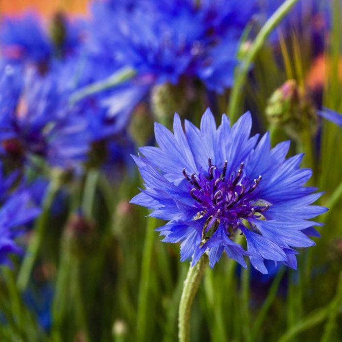 blue-cornflower-675x675 15 Annuals That Bloom All Summer