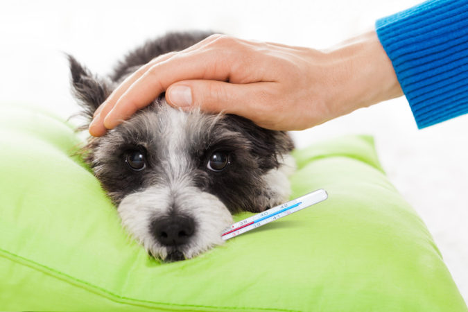 fever-dog-675x450 How to Take Care of Your Pet's Health in Emergency Situations