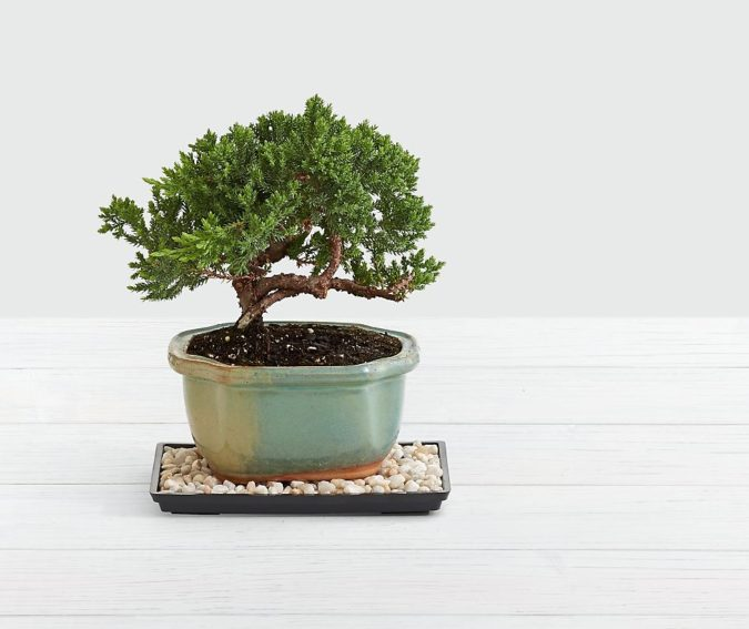 juniper-bonsai-tree-675x567 12 Most Awesome Valentine's Day Gifts for Him 2020