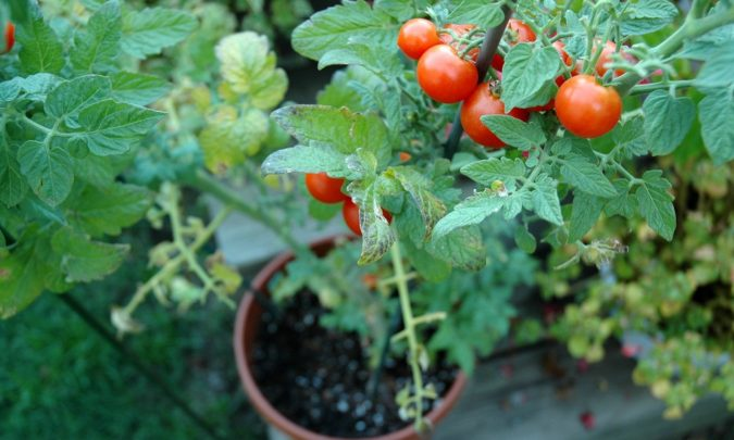 home-garden-tomatoes-675x405 Top 20 Garden Trends: Early Predictions to Adopt