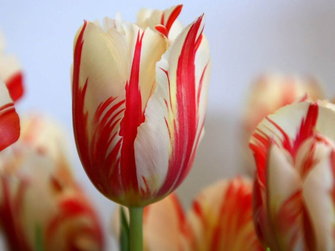 17th-century-Tulip-Bulb.-675x506 Top 10 Most Expensive Flowers in The World