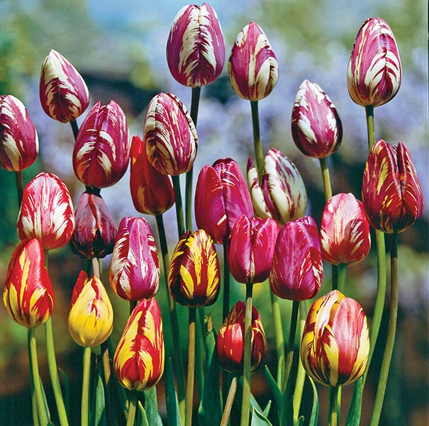 17th-century-Tulip-Bulb Top 10 Most Expensive Flowers in The World