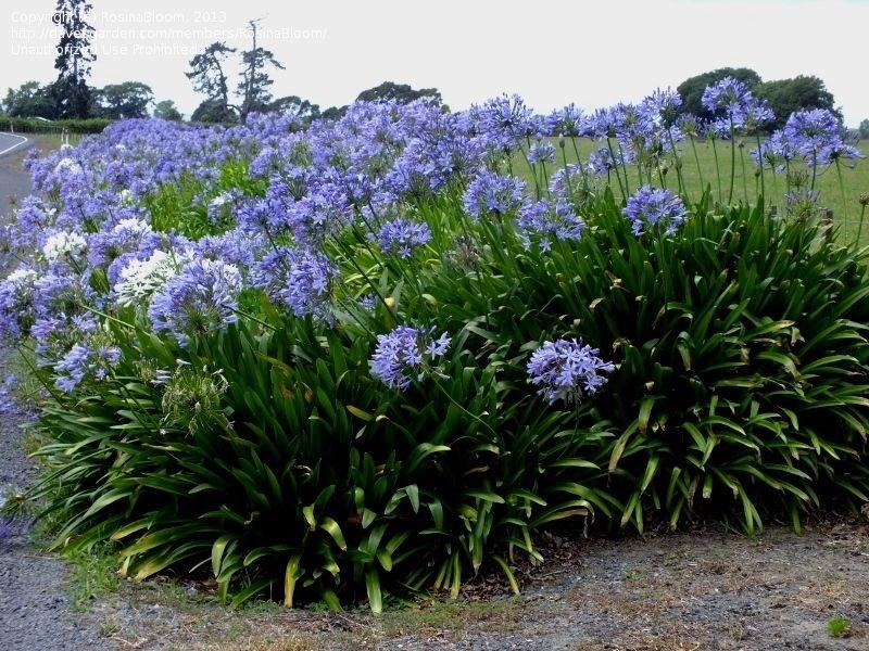 African-Lily-1 Best 30 Bright Colorful Flowers for Your Garden