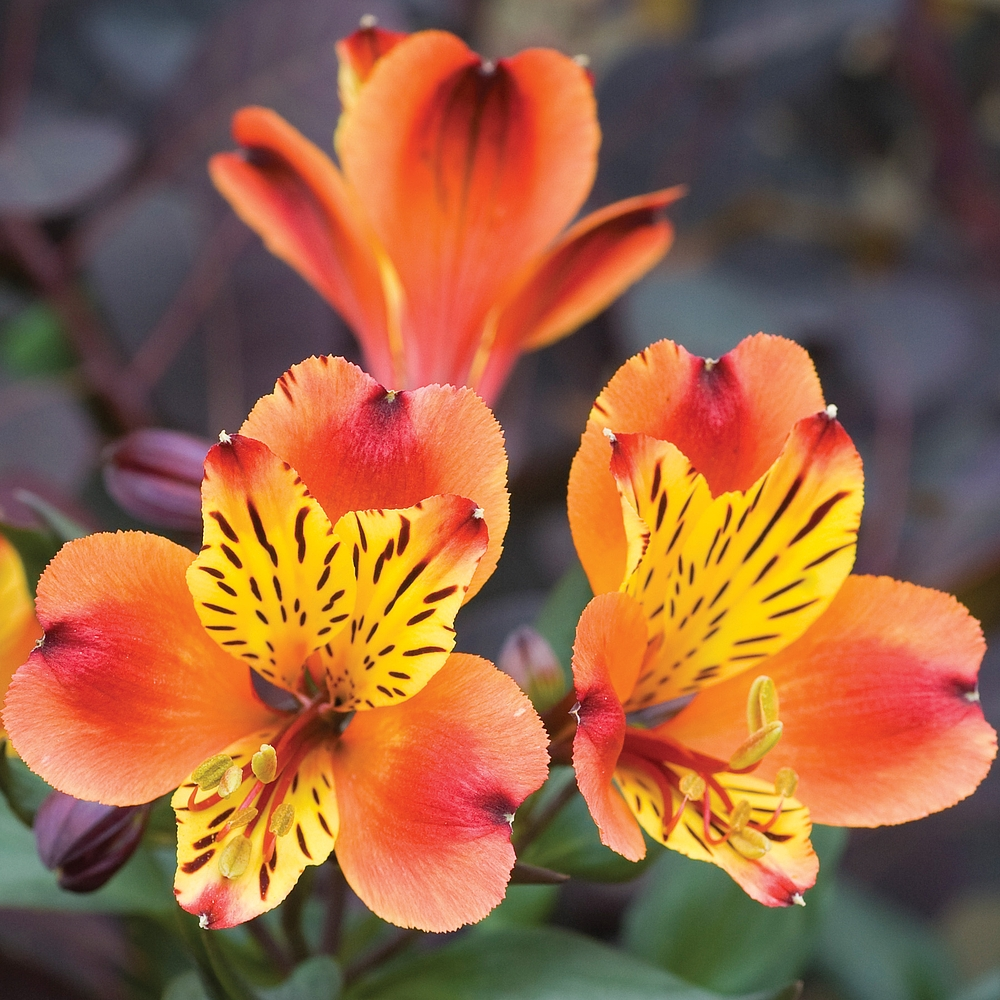 Alstroemeria-2 Best 30 Bright Colorful Flowers for Your Garden