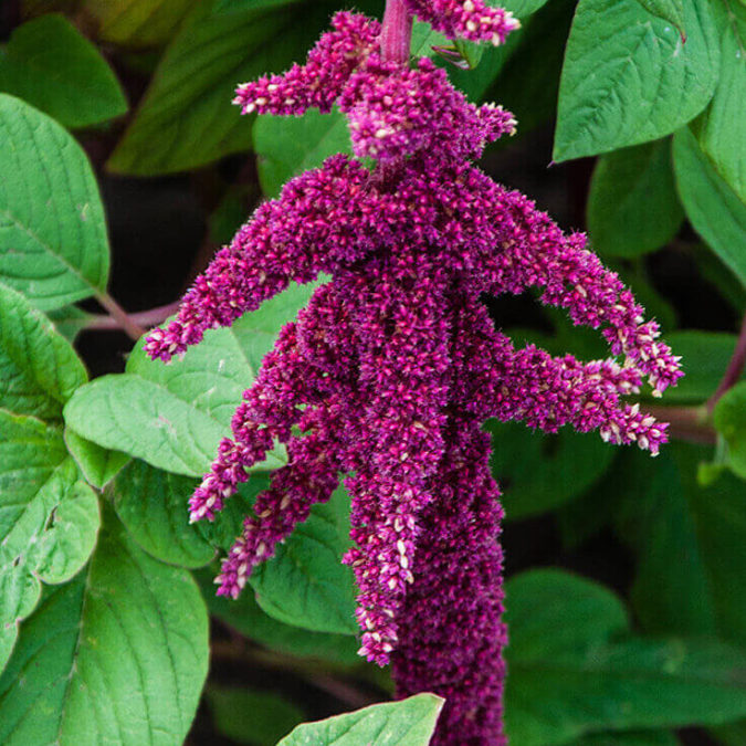 Amaranthus.-675x675 Best 30 Bright Colorful Flowers for Your Garden