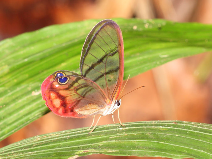 Amber-Phantom-Butterfly-675x507 Top 10 Most Beautiful Colorful Butterflies Species