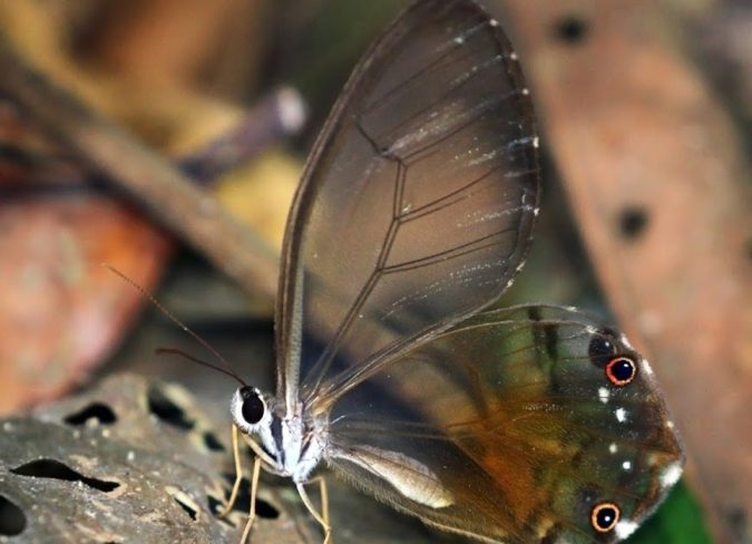 Amber-Phantom-Butterfly..-675x488 Top 10 Most Beautiful Colorful Butterflies Species