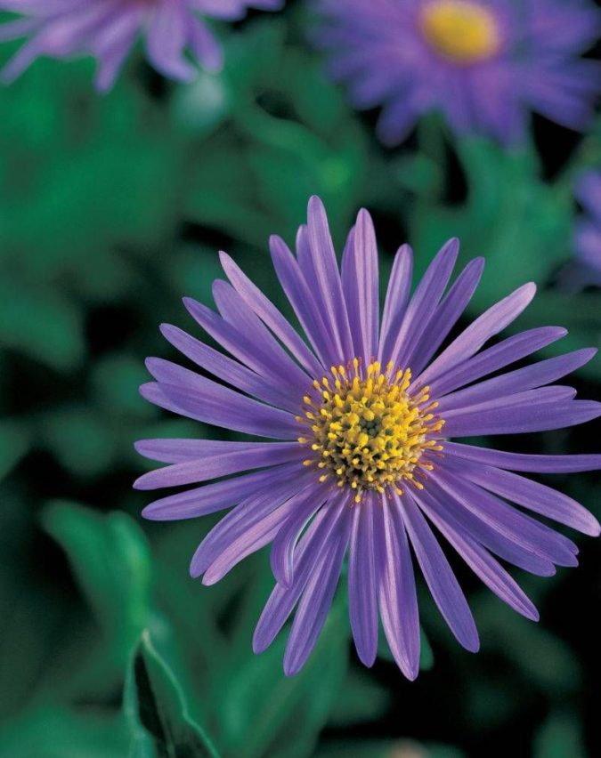 Aster-1-675x852 Best 30 Bright Colorful Flowers for Your Garden