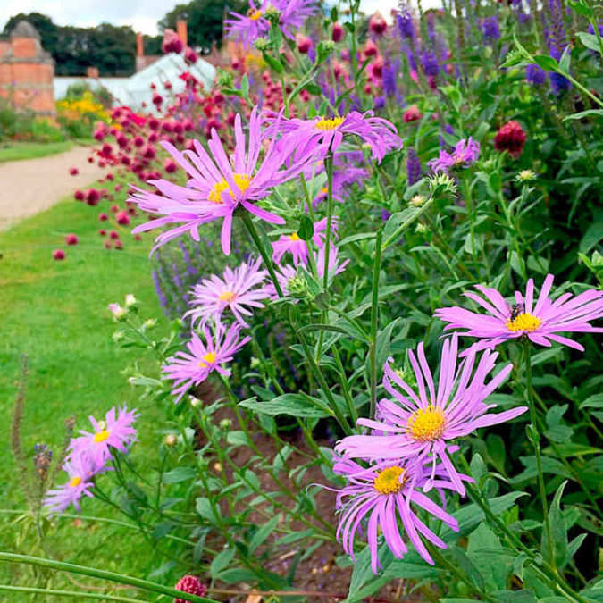 Aster-2-675x675 Best 30 Bright Colorful Flowers for Your Garden