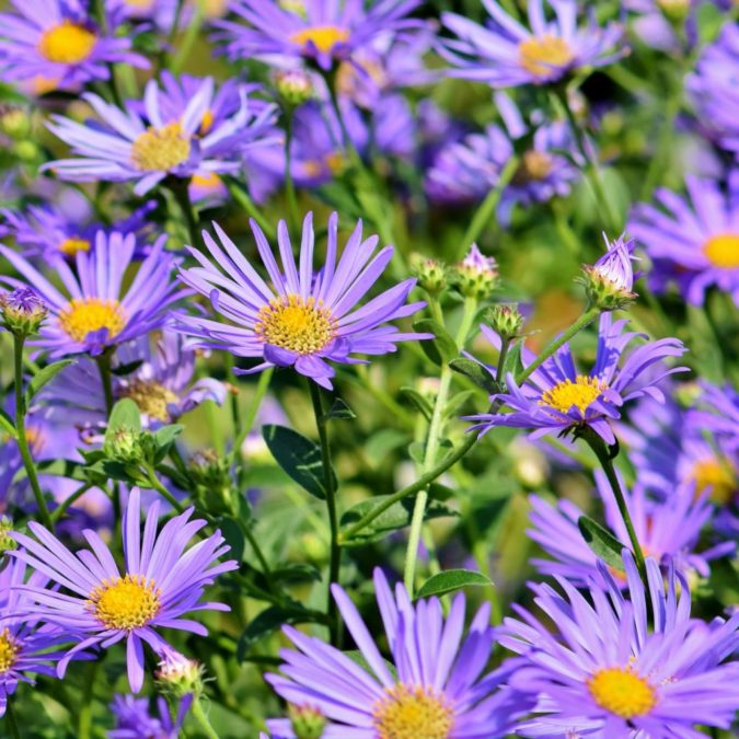 Aster.-675x675 Best 30 Bright Colorful Flowers for Your Garden