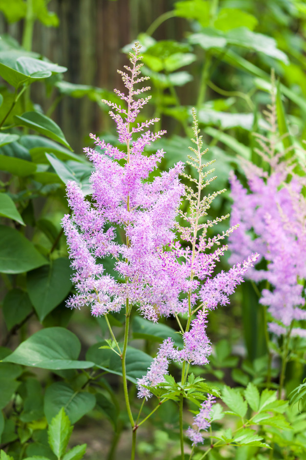 Astilbe-1 Top 10 Flowers that Bloom All Summer