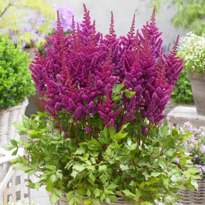 Astilbe.-675x675 Top 10 Flowers that Bloom All Summer