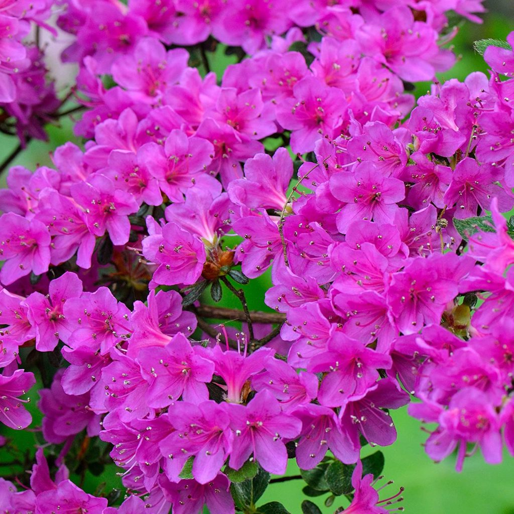 Azalea-1-1024x1024 Best 30 Bright Colorful Flowers for Your Garden