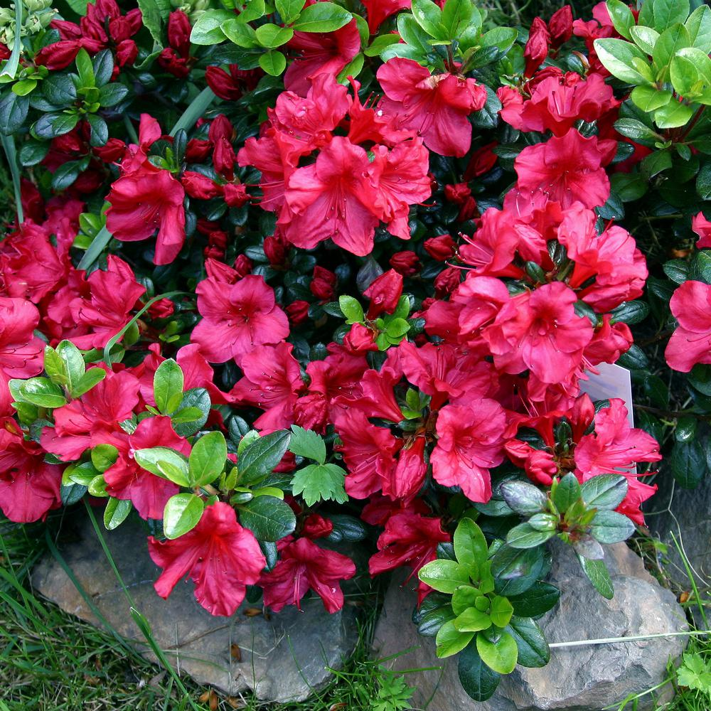 Azalea Best 30 Bright Colorful Flowers for Your Garden