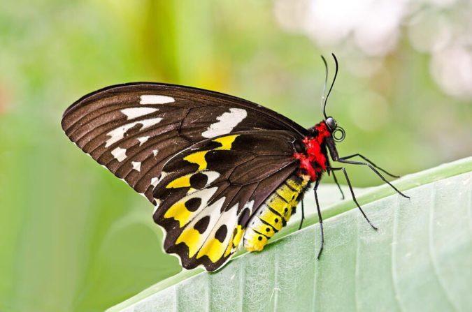 Birdwing-1-675x447 Top 10 Most Beautiful Colorful Butterflies Species