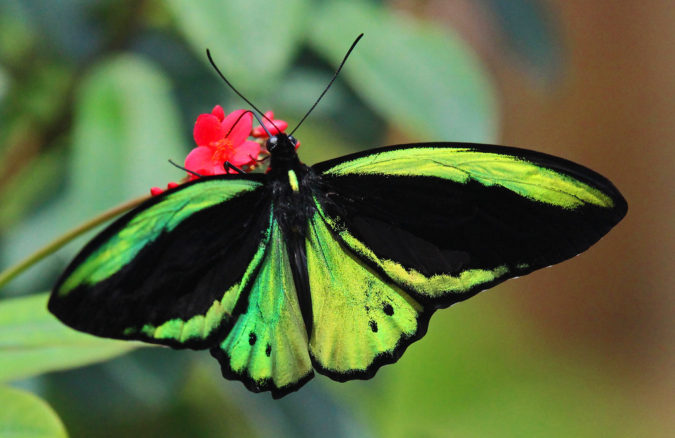 Birdwing-2-675x438 Top 10 Most Beautiful Colorful Butterflies Species