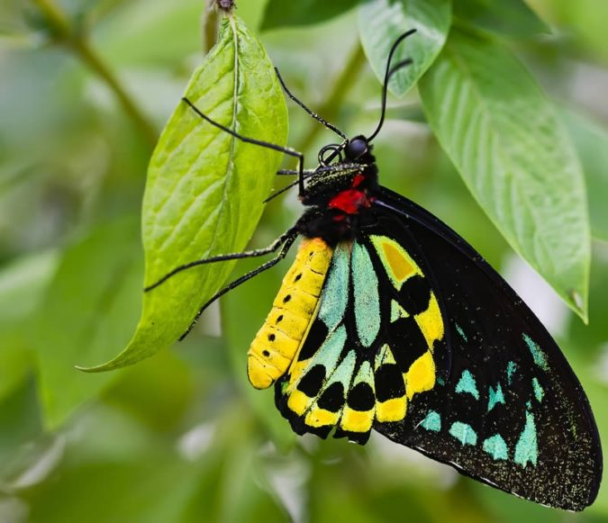 Birdwing-675x581 Top 10 Most Beautiful Colorful Butterflies Species