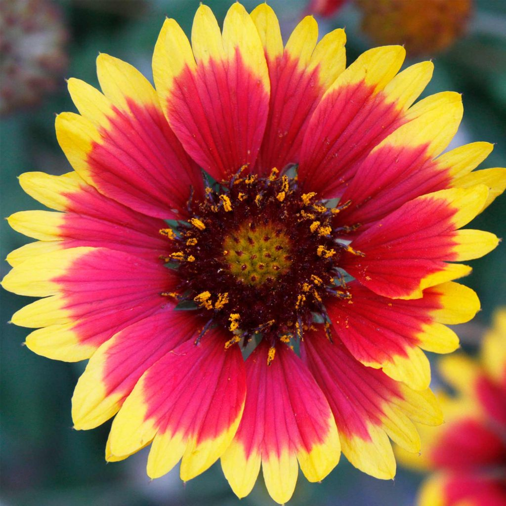 Blanket-Flower-1024x1024 Best 30 Bright Colorful Flowers for Your Garden