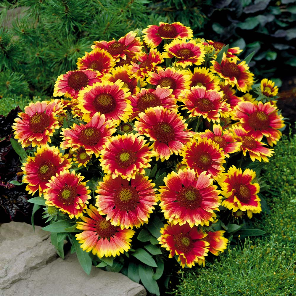 Blanket-Flower Best 30 Bright Colorful Flowers for Your Garden