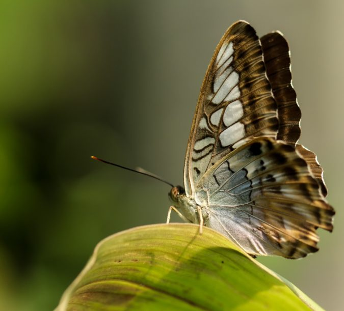 Blue-Clipper-Butterfly-1-675x611 Top 10 Most Beautiful Colorful Butterflies Species