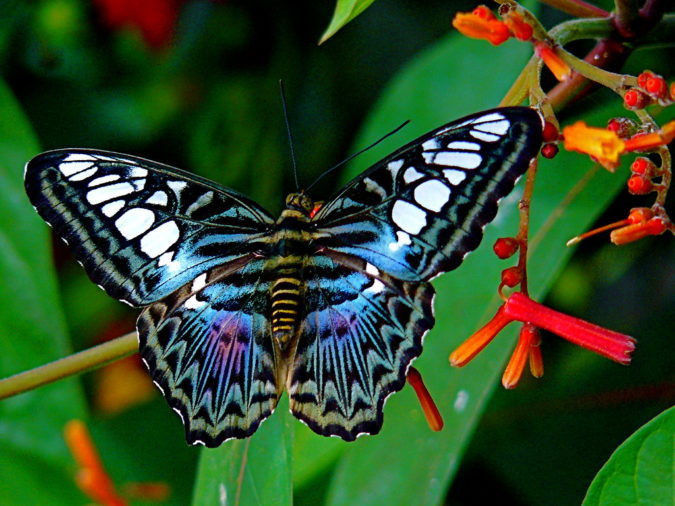 Blue-Clipper-Butterfly-675x506 Top 10 Most Beautiful Colorful Butterflies Species