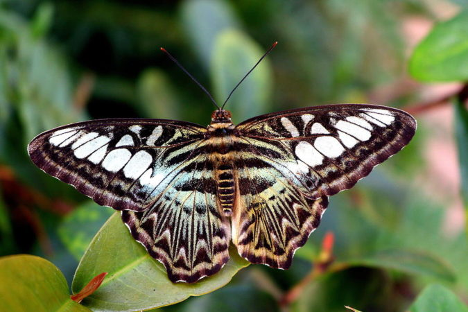 Blue-Clipper-Butterfly.-675x450 Top 10 Most Beautiful Colorful Butterflies Species