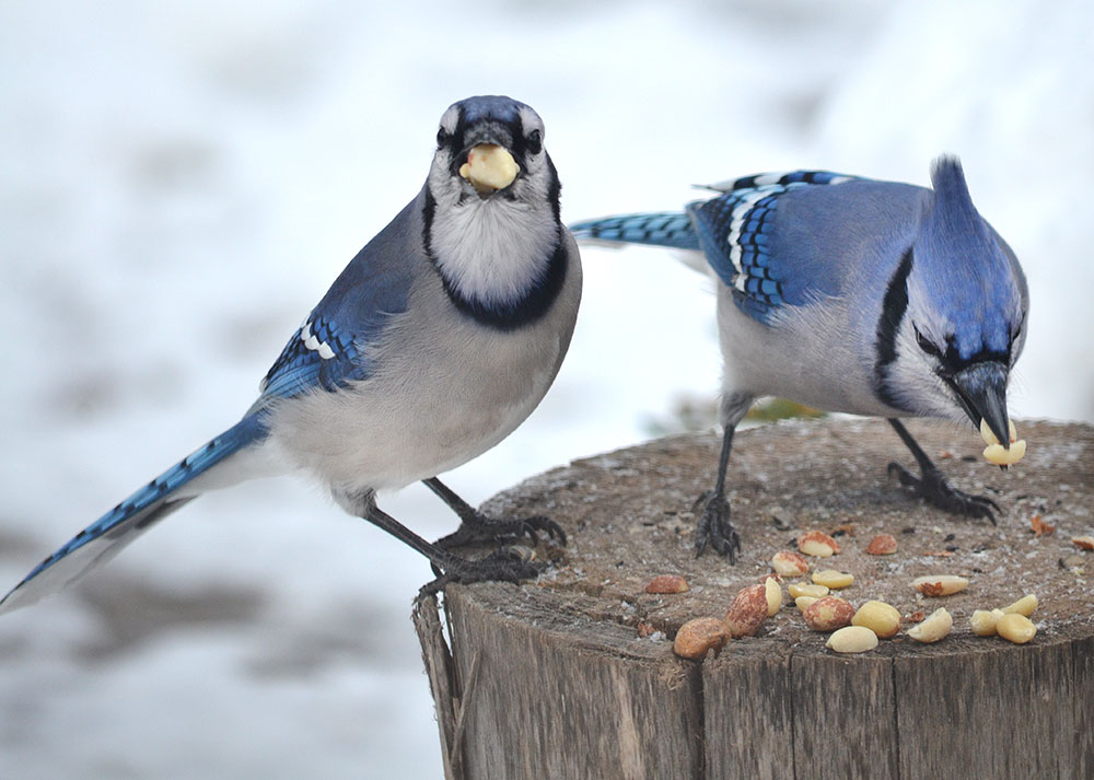 Blue-Jay-1 Top 20 Most Beautiful Colorful Birds in The World