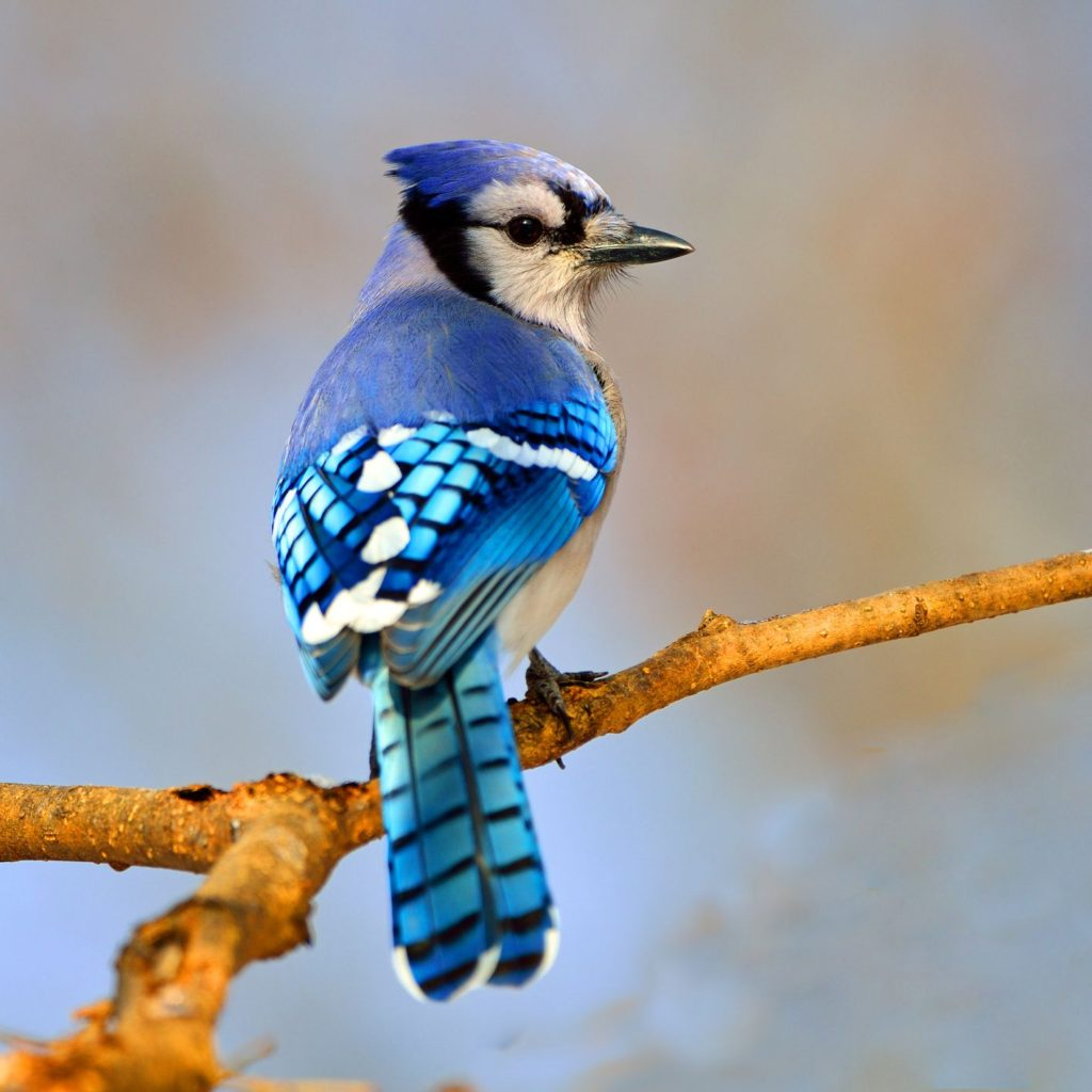 Blue-Jay-1024x1024 Top 20 Most Beautiful Colorful Birds in The World