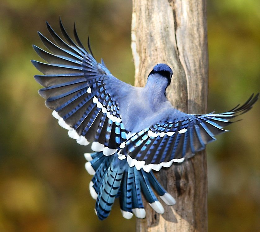 Blue-Jay-2 Top 20 Most Beautiful Colorful Birds in The World