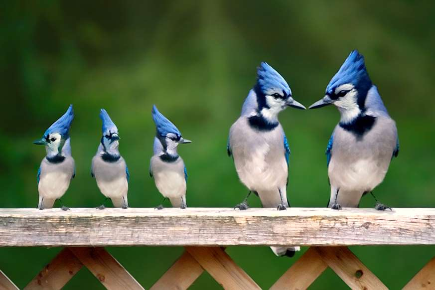 Blue-Jay. Top 20 Most Beautiful Colorful Birds in The World