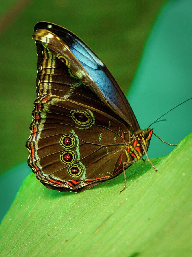 Blue-Morpho-Butterfly-1 Top 10 Most Beautiful Colorful Butterflies Species