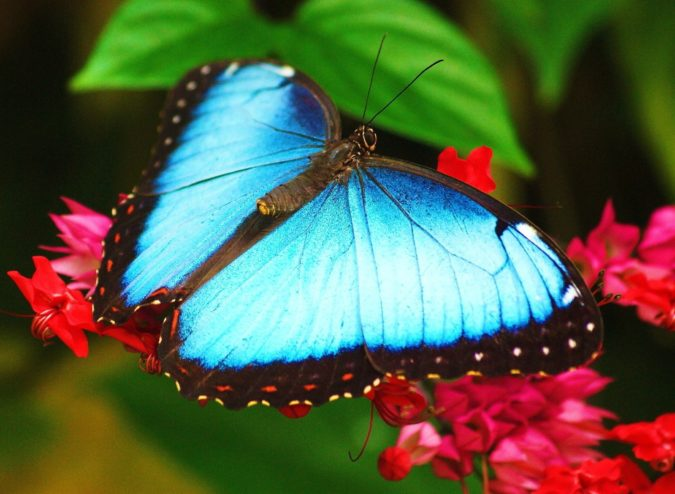 Blue-Morpho-Butterfly.-675x494 Top 10 Most Beautiful Colorful Butterflies Species
