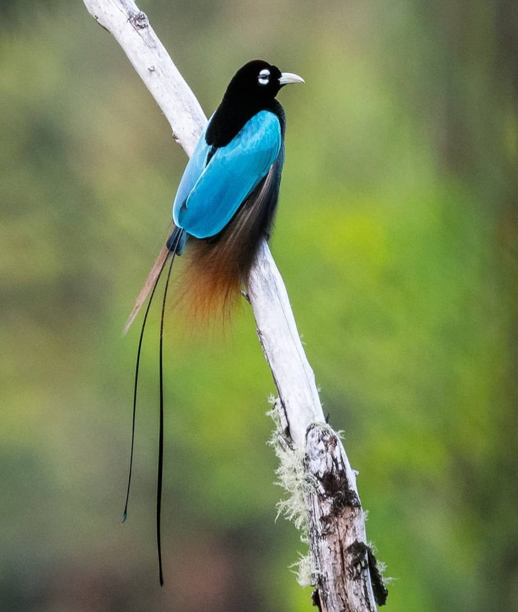 Blue-bird-of-paradise-1024x1208 Top 20 Most Beautiful Colorful Birds in The World