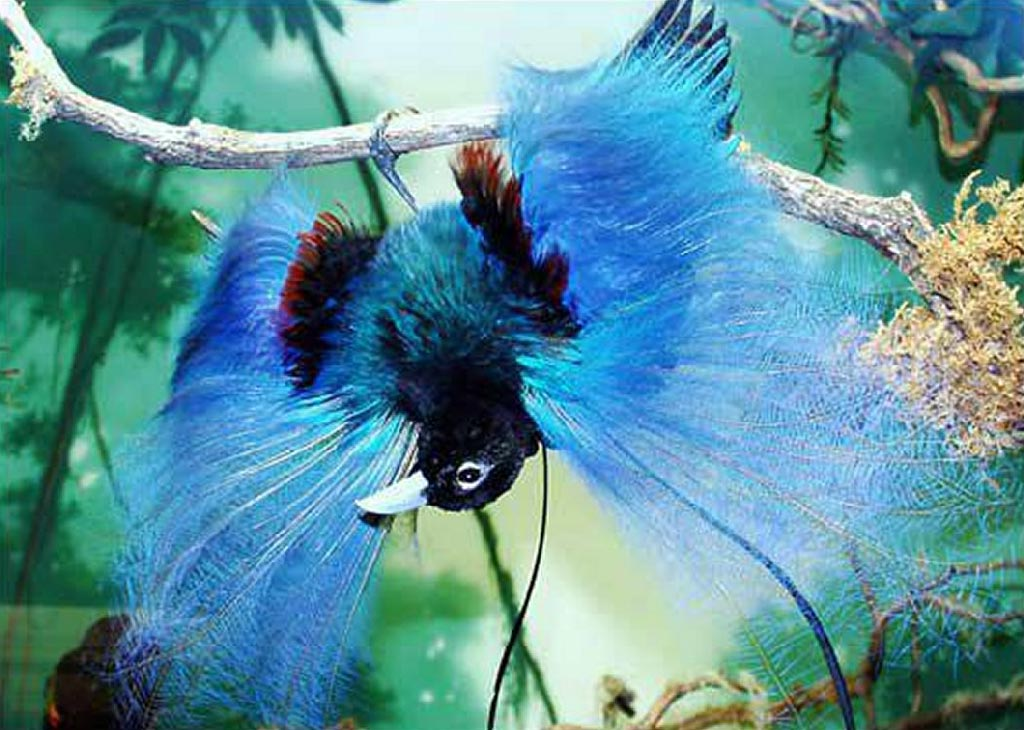 Blue-bird-of-paradise-2 Top 20 Most Beautiful Colorful Birds in The World