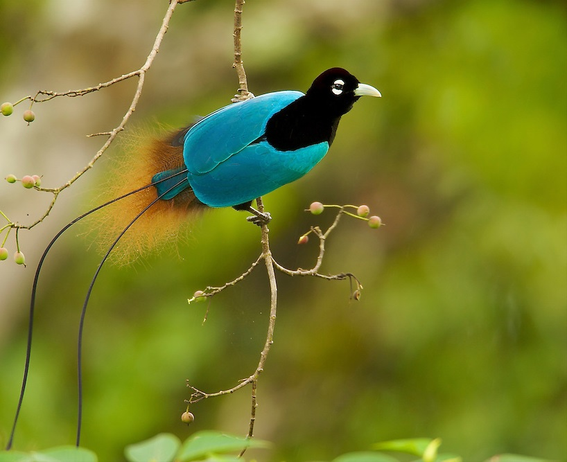 Blue-bird-of-paradise..-4 Top 20 Most Beautiful Colorful Birds in The World