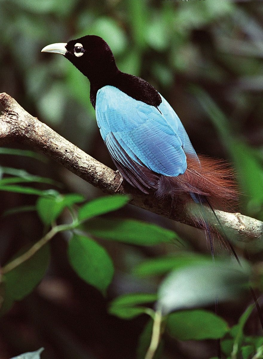 Blue-bird-of-paradise..-5 Top 20 Most Beautiful Colorful Birds in The World