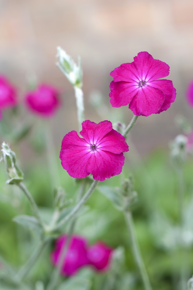 Campion-1 Best 30 Bright Colorful Flowers for Your Garden