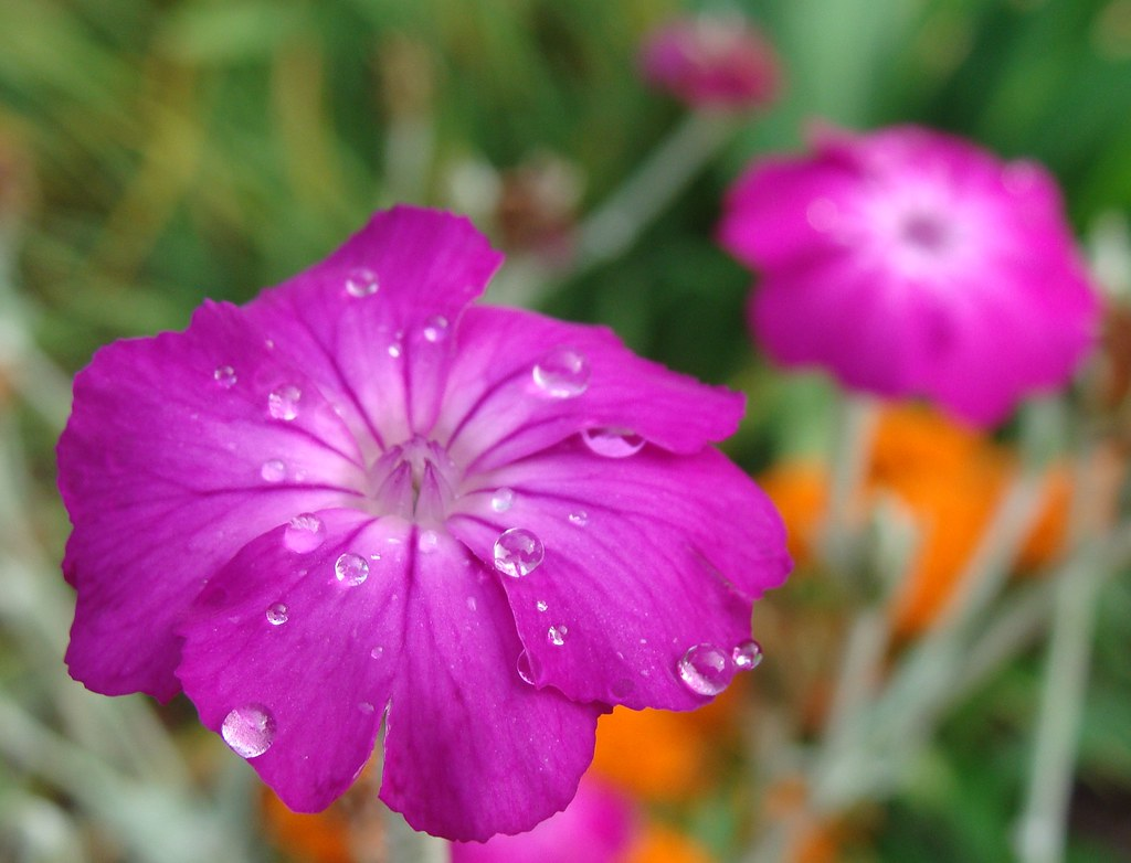 Campion Best 30 Bright Colorful Flowers for Your Garden