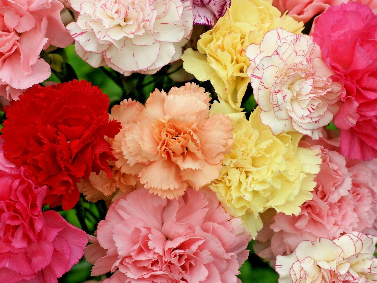Carnations-1 Best 30 Bright Colorful Flowers for Your Garden
