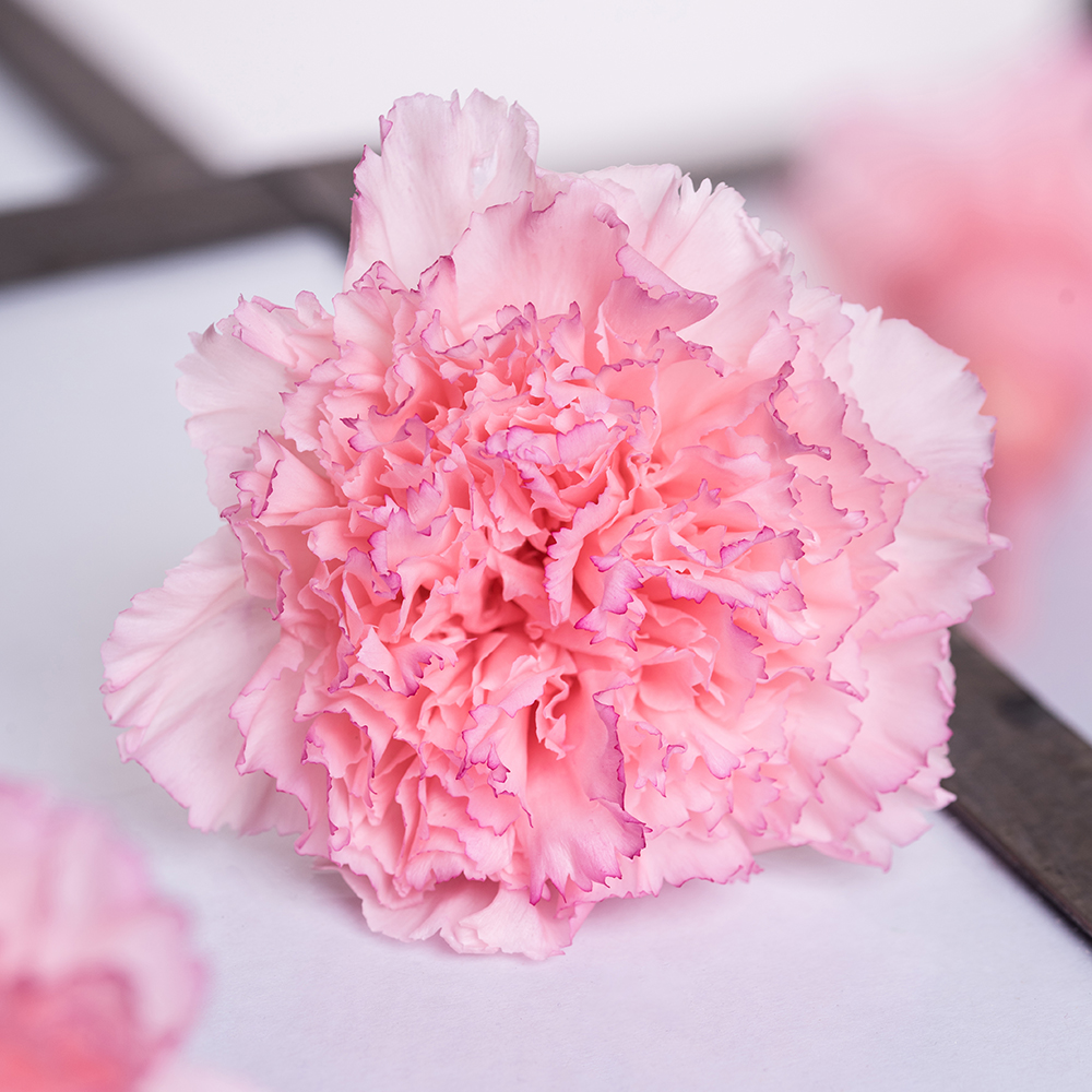 Carnations. Best 30 Bright Colorful Flowers for Your Garden